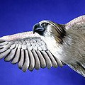 """Philippine Eagle LIfe Size 57"""" Wing Span - Miami Metro Zoo MI, FL"""